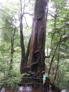 ヤクスギランド 千年杉。